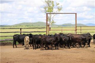 68 Weaned Steers