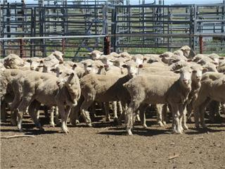 60 Scanned Empty Ewes