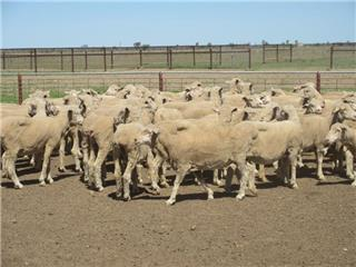 90 Scanned Empty Ewes