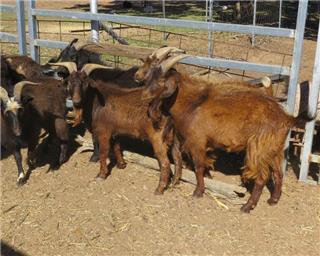 11 Goats - Bucks