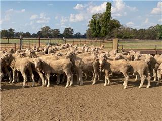 120 Wether Lambs