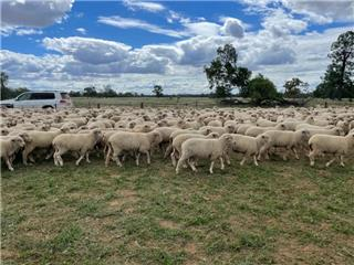 300 Mixed Sex Store Lambs