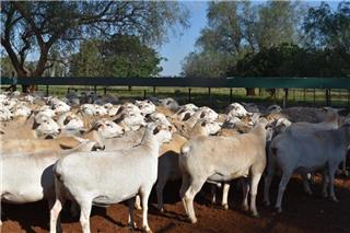 145 Station Mated Ewes
