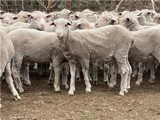 714 Store Wether Lambs