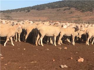 650 Station Mated Ewe Lambs