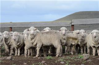 280 Woolgrower Wether Lambs
