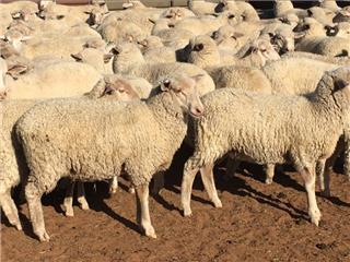 90 Mixed Sex Lambs