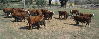 16 NSM Cows & 16 Calves