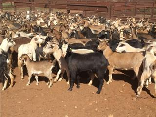 650 Goats - Does