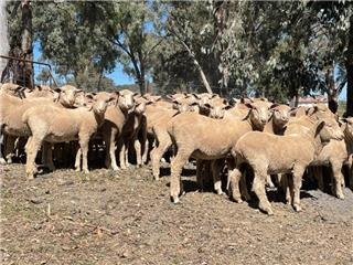 147 Store Wether Lambs