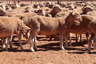 494 SIL Ewes