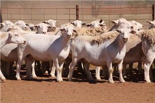 106 SIL Ewes