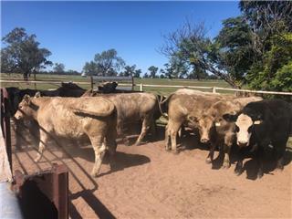 14 Feeder Steers