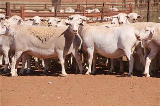 61 SIL Ewes
