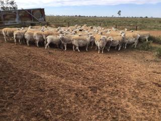 90 Station Mated Ewes
