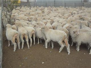 525 Store Wether Lambs