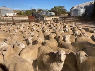189 Future Breeder Ewe Lambs