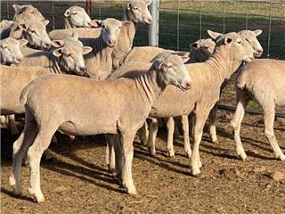 380 Mixed Sex Store Lambs