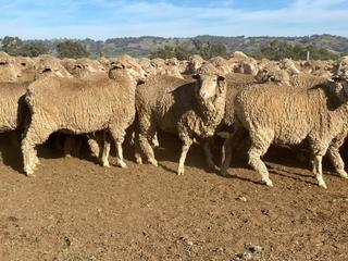 285 SIL Ewes