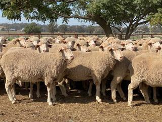 187 SIL Ewes