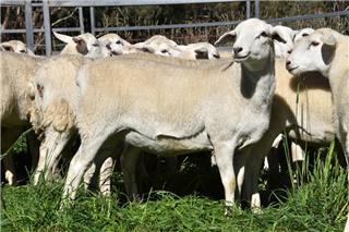 51 Future Breeder Ewe Lambs