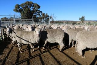 212 SIL Ewes