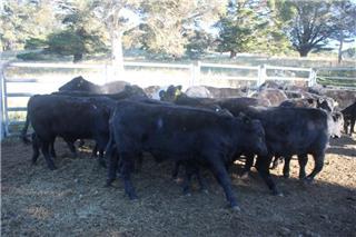 53 Unweaned Steers