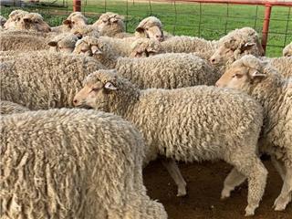 150 Woolgrower Wether Lambs