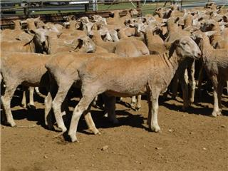 325 Future Breeder Ewe Lambs