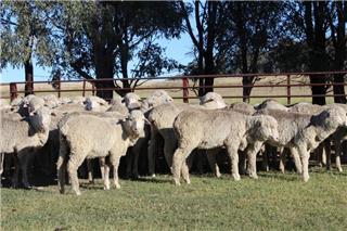 95 Future Breeder Ewe Lambs