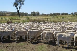 282 Ewes