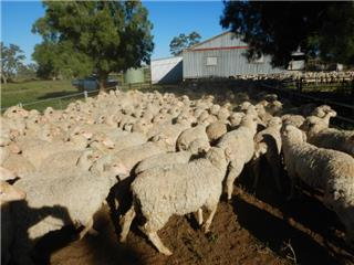 540 Store Wether Lambs
