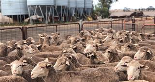 130 Ewes