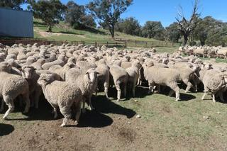 180 Scanned Empty Ewes