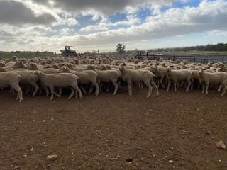 174 SIL Ewes
