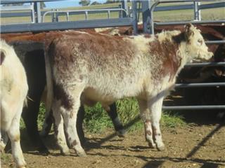 30 Weaned Steers
