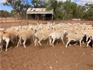 87 Future Breeder Ewe Lambs