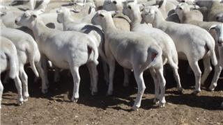150 Future Breeder Ewe Lambs