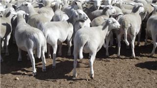 63 Future Breeder Ewe Lambs