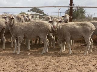 127 SIL Ewe Lambs