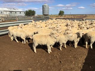 143 Ewe Lambs