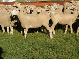 120 Future Breeder Ewe Lambs
