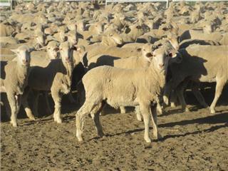 645 Woolgrower Wether Lambs