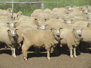 405 NSM Ewe Lambs