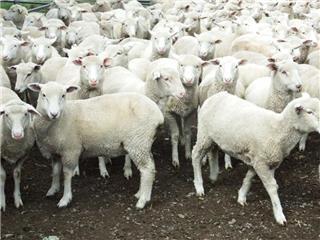 185 Mixed Sex Lambs