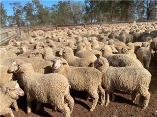 498 Woolgrower Wether Lambs