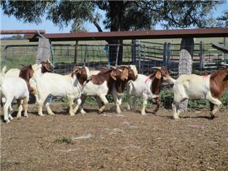 13 Goats - Bucks