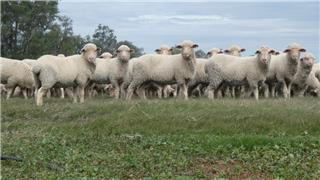 760 Store Wether Lambs