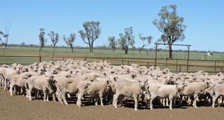 192 NSM Ewes