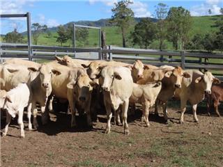 12 Cows & 12 Calves